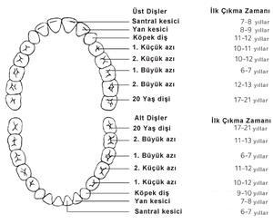20 lik Diş Nedir